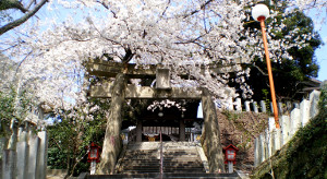 sakura_cherry_blossoms_atago_shrine